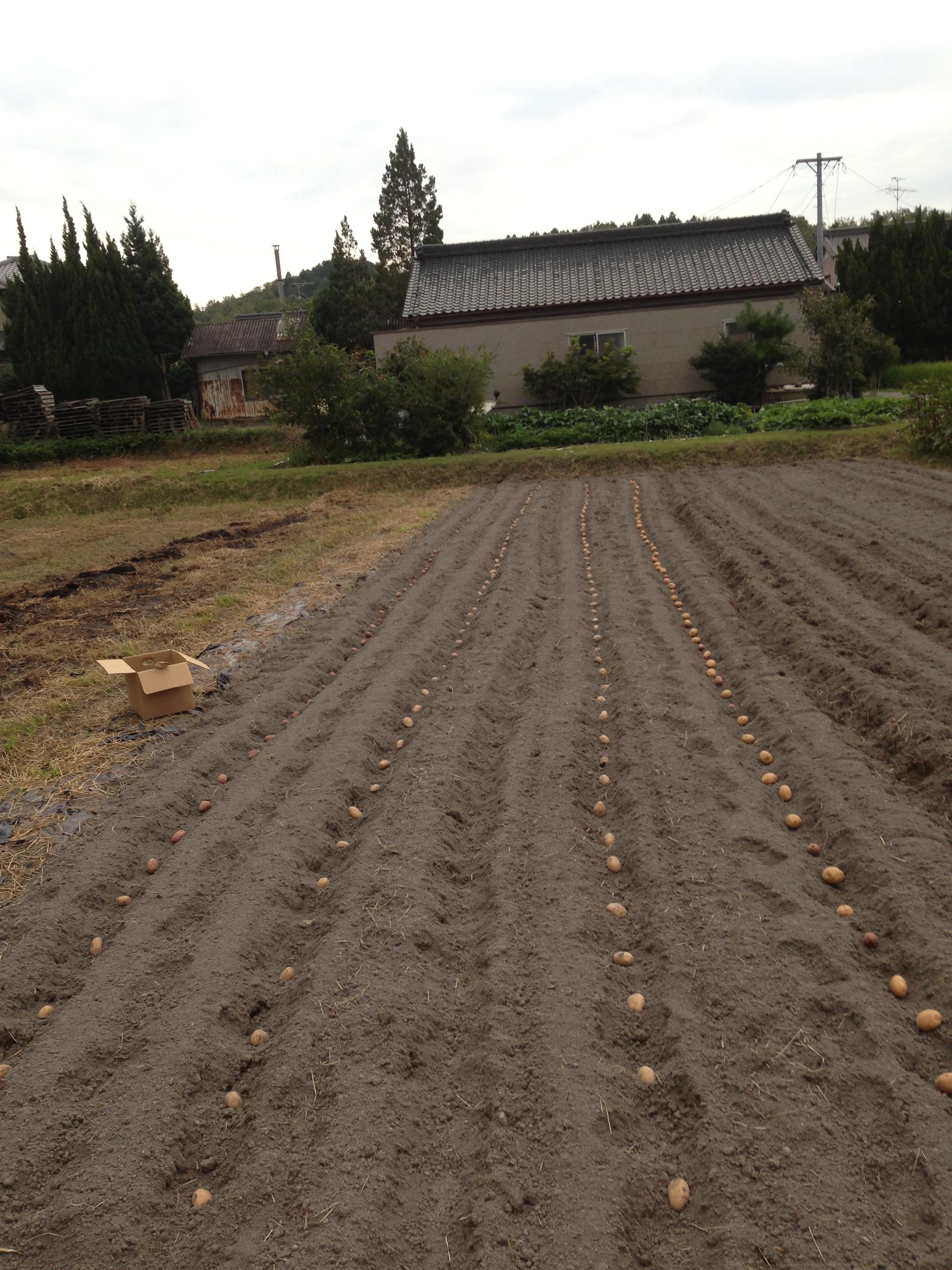 植え付け の 秋 時期 ジャガイモ